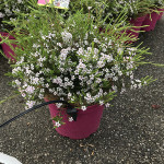 DIOSMA PINK FOUNTAIN C3L