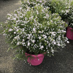 DIOSMA PINK FOUNTAIN C8,3L